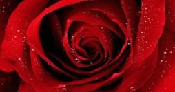 mawar padang pasir